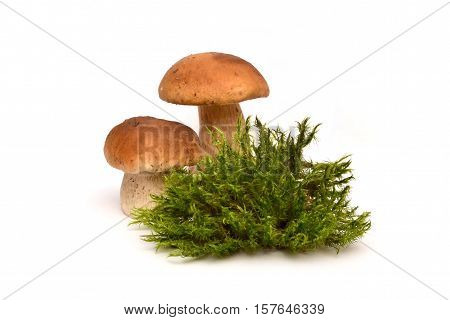 Two mushrooms with moss. Porcini White mushrooms and moss.