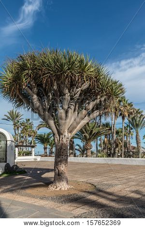 Canary Islands dragon tree or drago, is a subtropical tree-like plan native to the Canary Islands (Spain)