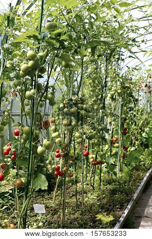 Ripening tomatoes in a greenhouse made of transparent polycarbonate