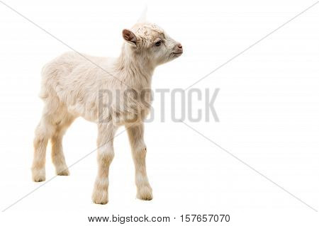 little goatling animal on a white background
