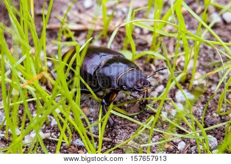 Female stag beetle in the grass. The largest beetle in Europe.