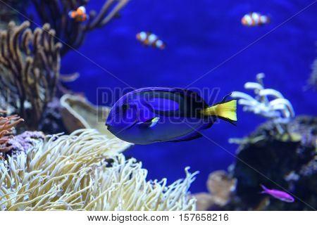 A blue tang fish swimming at the aquarium