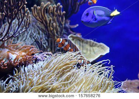 A blue tang fish and a clown fish swimming at the aquarium