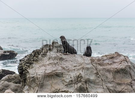 Picton seal colony lounging on rocks in New Zealand