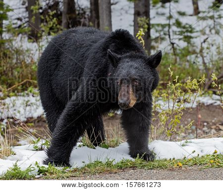 A large American Black Bear feeds by the side of a mountain road during early spring.