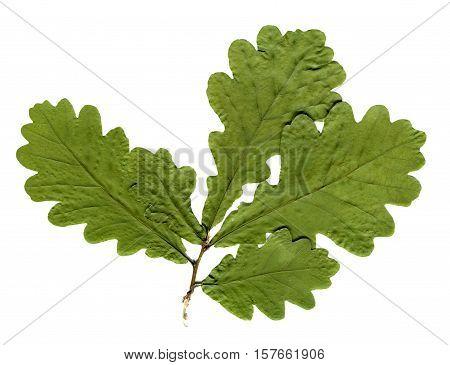 Dried and pressed oak leaves isolated. Herbarium of oak tree