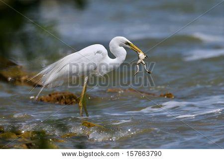 big white egret fishing (ardea alba)