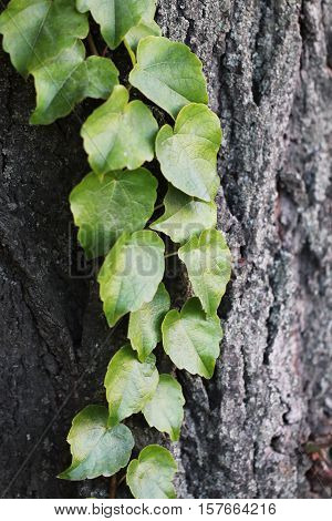 Green Leaves On The Oak Bark Curl