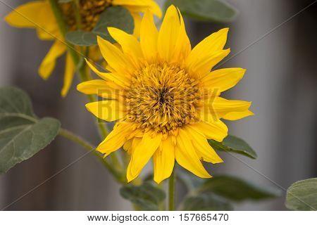 Sunflowers. Sunflower In Garden. Sunflowers Blooming In Sunflower Garden. Sunflower, Yellow Flowers