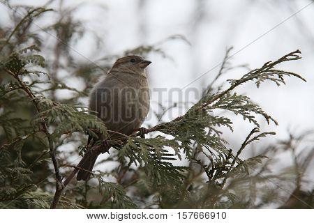 Gray fluffy sparrow on branch arborvitae autumn