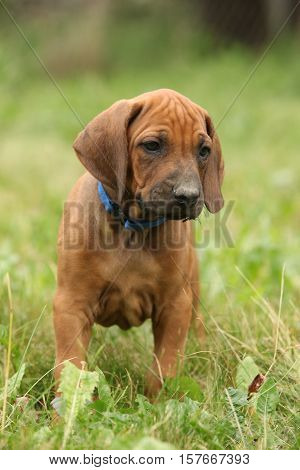Amazing Puppy Of Rhodesian Ridgeback In The Garden