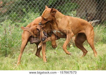 Couple Of Rhodesian Ridgebacks Playing In The Garden