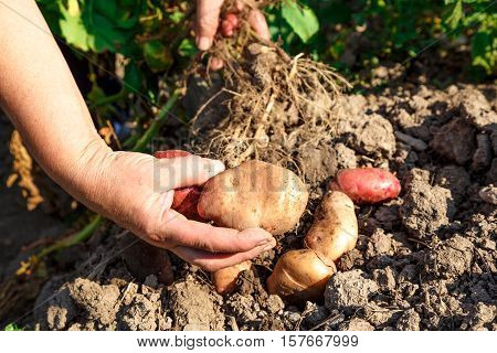 Young Potato In Soil