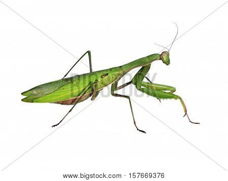 The Mantis on a white background isolated
