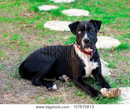 6 months puppy cross-bred walleyed dog Boxer and American Staffordshire Terrier