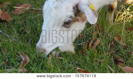 picture of a goat grazing in the field domestic and farm animals theme