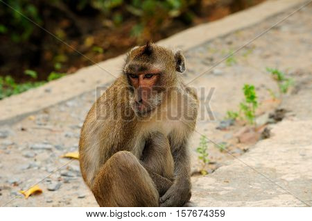 A wild rhesus monkey on Can Gio Island area of south Vietnam.