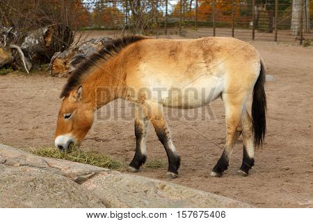 Przewalski's horse eating hey outside in closeup