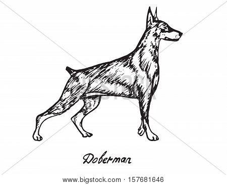 Doberman, hand drawn doodle, sketch in pop art style, vector
