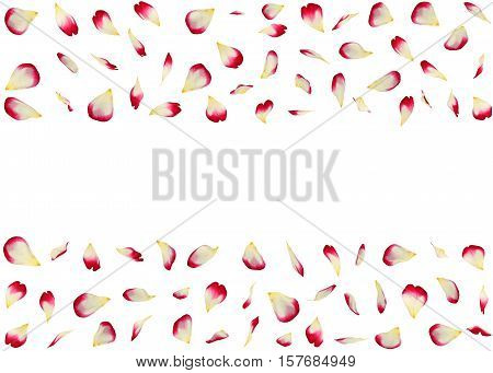 Red-white Rose Petals Are Flying In Parallel. Isolated Background. 3D Illustration