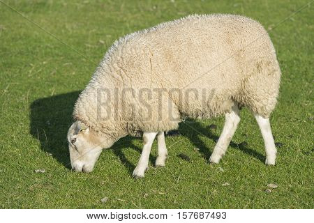 Sheep who graze on a grassy embankment on the North Sea Island of Terschelling in the Netherlands