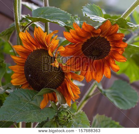 Close up of beautiful unusual red sunflower, helianthus, on white background, isolated