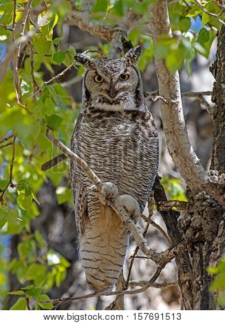 A Great Horned Owl looks down from its perch in an Alberta park.