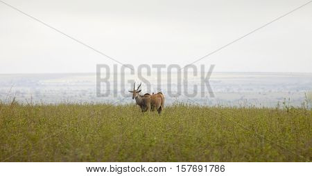 Eland and African landscape panorama