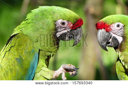 The military macaw is a large parrot and a medium-sized macaw