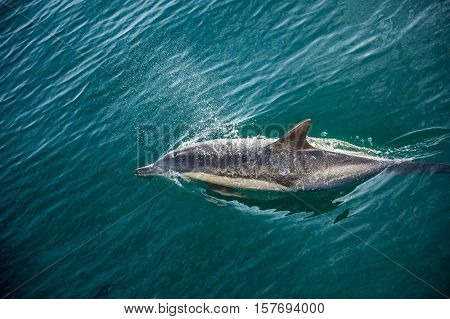 Dolphin swimming in the ocean and hunting for fish. The jumping dolphins comes up from water. The Long-beaked common dolphin (scientific name: Delphinus capensis) swim in atlantic ocean.