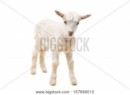 little goatling farm animal on a white background