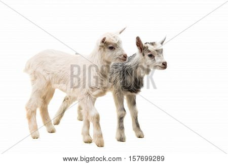 little goatling  farm animal on a white background