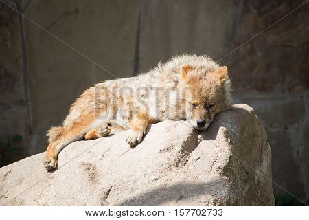 Jackal slept on the stone in the summer