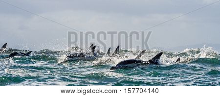 Dolphins, Swimming In The Ocean