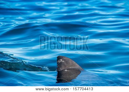 Shark fin above water. Closeup Fin of a Great White Shark (Carcharodon carcharias), swimming at surface, False Bay, South Africa, Atlantic Ocean