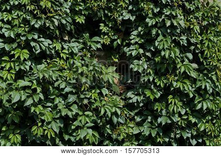 Background of green summer Virginia creeper leaves