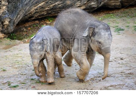 Two cute baby elephants walking together on mud