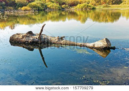 Big Wooden Log Floating On The Pond Surface