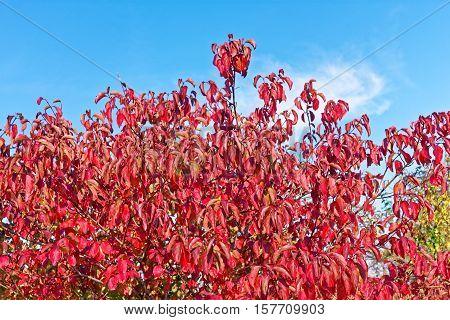 Foliage Of Cornus Sanguinea, The Common Dogwood In Autumn