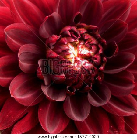 macro photo of bright dark red petals Dahlia flowers as the background to the original in design and photo shop