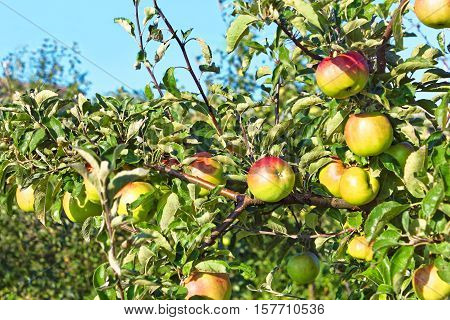 Ripening Apple Fruits Hanging On The Branches