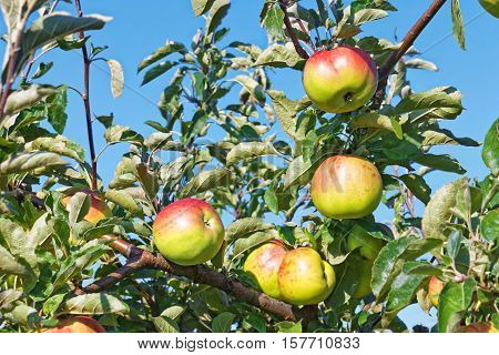 Apple Fruits Hanging On The Branches