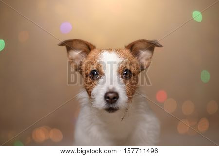 Happy New Year, Christmas, Jack Russell Terrier. Holidays And Celebration