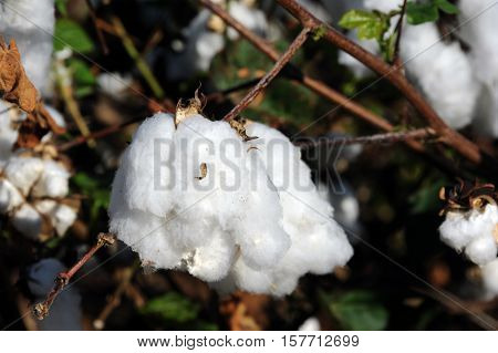 Closeup shows fluffy cotton crop in field in Southern Arkansas.