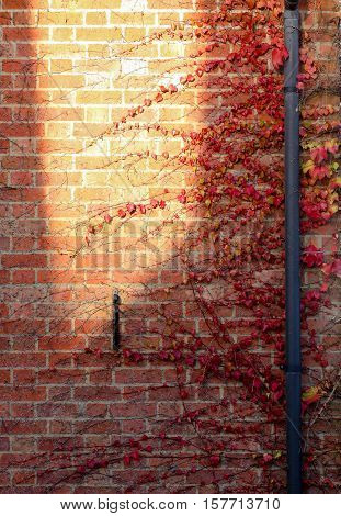 Red Ivy Creeper Leaves on the old brick wall with large yellow sun spot and rainwater pipes