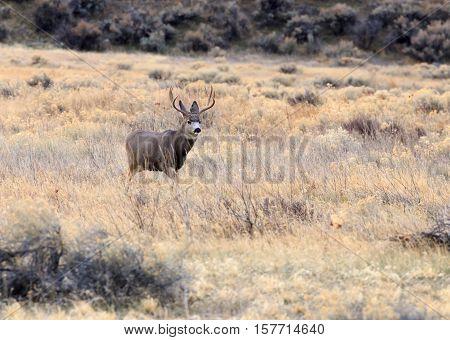 Mule deer buck with some does (female deer) during the mating season.