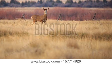 Mule deer buck standing in farm field looking at camera.