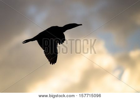 Double-Crested Cormoran Silhouetted in the Sunset Sky As It Flies