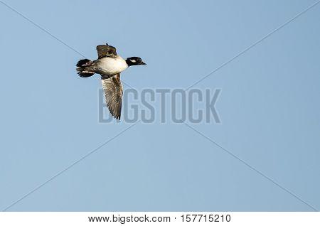 Bufflehead Duck Flying in a Blue Sky