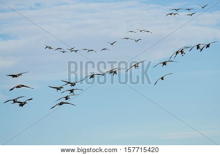 Large Flock of Canada Geese Coming in for a Landing